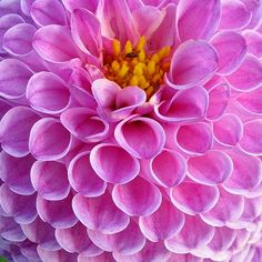 Pantone color Radiant Orchid found in Dahlia flowers.