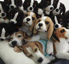 beagle n beagles