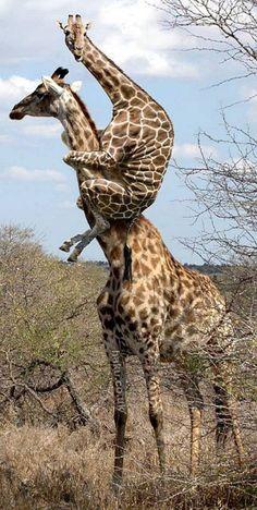 baby giraffes | Giraffe Riding Giraffe!