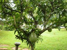 Árbol y frutos de Totumo (Crescentia cujete)