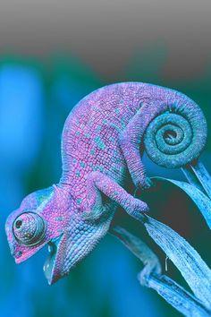 purple and green chameleon - Tiere EUT Animals And Pets, Baby Animals, Funny Animals, Cute Animals, Reptiles Et Amphibiens, Mammals, Beautiful Creatures, Animals Beautiful, Tier Fotos