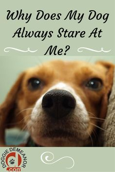 Why does my dog always stare at me? Ever catch your dog watching your every move? Here is why.