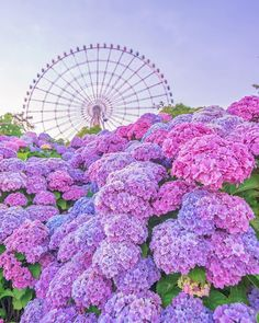 Beautiful Flowers Pictures, Flower Pictures, Amazing Flowers, Pretty Flowers, Pretty Pictures, Hortensia Hydrangea, Hydrangea Garden, Hydrangea Flower, Blossom Garden