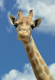 It's lame I have to write a description in this to repin it. So, this is a giraffe.
