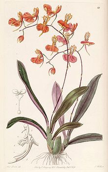 Orchid, Comparettia coccinea, botanical illustration.