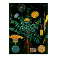 >>>Smart Deals for          	Vintage Botanical Dandelion Posters           	Vintage Botanical Dandelion Posters lowest price for you. In addition you can compare price with another store and read helpful reviews. BuyReview          	Vintage Botanical Dandelion Posters Review from Associated St...Cleck Hot Deals >>> http://www.zazzle.com/vintage_botanical_dandelion_posters-228252146498149858?rf=238627982471231924&zbar=1&tc=terrest