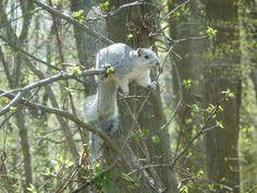 Delmarva Peninsula Fox Squirrel -- Conservation Success Story! Photo Credit: Guy Willey
