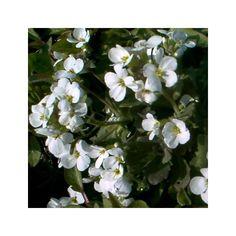Corbeille d'argent à fleurs simples blanches, le lot de 3 - Plantes et Jardins