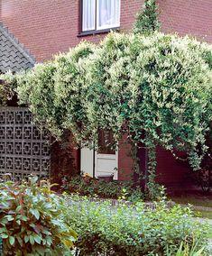 Bruidssluier De bruidssluier is een prachtige snelgroeiende klimplant. In korte tijd bedekt deze klimmer schuttingen pergola's of hekwerken met een sluier van witte bloemtrossen. In de herfst gaan de bloemen over in witte vruchten. EUR 7.95 Meer informatie