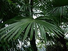 Trachycarpus fortunei: part shade, RHS AGM ... The greatest reported cold tolerance is −27.5 °C (−17.5 °F) by four specimens in Plovdiv, Bulgaria during a severe cold spell, but young plants are less hardy, and can be damaged by only −8 °C. Trachycarpus fortunei 'Wagnerianus' is a small-leafed semi-dwarf variant rarely growing to more than 5 m (16 ft) tall, with leaflets less than 45 cm long; the short stature and small leaves give it greater tolerance of wind exposure