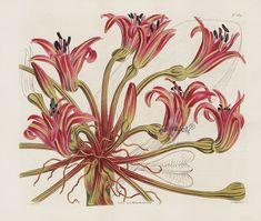 William Curtis Antique Botanic Double Prints 1787