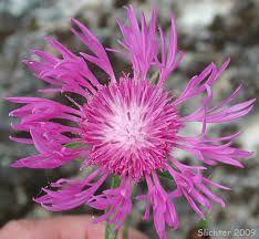 Centaurea - Pesquisa Google