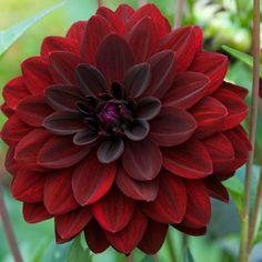 Dahlia Arabian Night - Sultry 4 inch blooms that are a deep purple maroon - almost black Giant Flowers, Bulb Flowers, Flower Pots, Burgundy Flowers, Red Flowers, Beautiful Flowers, Deep Red Color, Deep Purple, Gardens