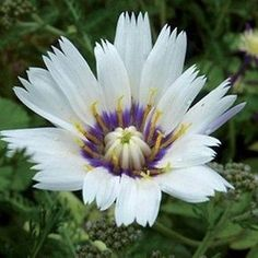 Cupids Dart (Catananche Caerulea White) - Stir up some love in your #garden and grow Cupid's Dart seeds! Native to southwestern Europe and once used as an ingredient in love... #underthesunseeds #flower #perennial #seed #seeds