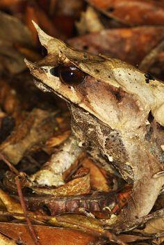 Malaysian leaf frog
