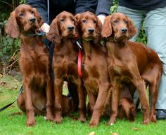 Irish Setter Pups ~ Classic Look Baby Puppies, Dogs And Puppies, Terriers, Stafford Terrier, Scottish Deerhound, Beagle, Most Beautiful Dogs, Irish Terrier, Dog Lady