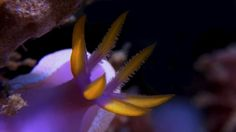 """""""Color"""" was recorded in Lembeh Strait (Sulawesi Utara-Indonesia). Thanks to all the guides!  ____________   """"Color"""" Se grabó en el estrecho de Lembeh (Sulawesi Utara-Indonesia). ¡Gracias a todos los guías!"""