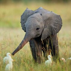 Baby elephant playing with baby egrets.