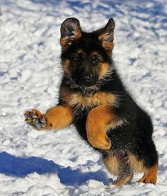 Cute puppy. I think German Shepherd pups are pretty adorable, especially when their ears go through all the stages :D