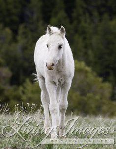 wild horses, mustangs, Pryor Mountains, Montana, USA