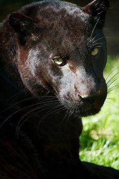 Black leopard (by JasonBrownPhotography)