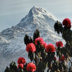This place and those #rhododendron in #spring will #blowyourmind - #himalaya #lovenepal #ghorepani #poonhill #annapurnasouth #mountains #mightymountains