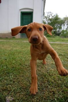 Vizslas are beautiful to look at. They are born with light green eyes which slowly turn hazel as they age.
