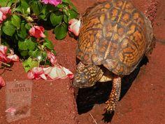 Reptiles, Amphibians, Pet Health, Dog Pictures, Pet Care, Most Beautiful Pictures, Box Turtles, Turtle Reptile, Wildlife