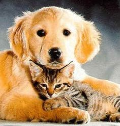 Kittens And Puppies Wallpaper Generally, most topical flea medications (Frontline, Advantage) are not recommended for use on animals und. Raining Cats And Dogs, Cute Cats And Dogs, I Love Dogs, Kittens And Puppies, Cute Puppies, Cats And Kittens, Kittens Playing, Silly Cats Pictures, Animal Pictures