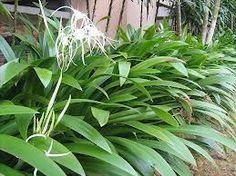 hymenocallis littoralis - spider lilly Tropical Plants, Hedges, Spider, Garden Design, Exotic, Gardening, Landscape, Street, Flowers