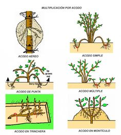 Plant Propagation – Types of Layering - Garden Types Plantas Bonsai, Garden Types, Air Layering, Plant Cuttings, Plant Science, Types Of Plants, Growing Plants, Fruit Trees, Dream Garden