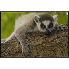 """East Urban Home 'Ring-Tailed Lemur Portrait' Framed Photographic Print on Canvas Size: 24"""" H x 36"""" W x 1.5"""" D"""