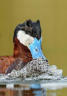 El pato zambullidor grande (Oxyura jamaicensis) Su hábitat de la cría son lagos pantanosos y estanques a lo largo de casi toda de América del Norte. Anidan en la vegetación densa del pantano cerca del agua. Las parejas se forman cada año. Son migratorios e invernales en las bahías costeras y lagos descongelados y estanques.
