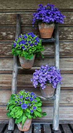 Purple potted flowers on ladder.