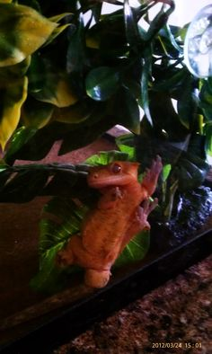 One of my Crested Geckos, Banana. He's so adorable!