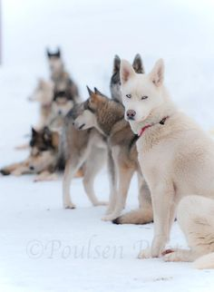 Only Husky sled dogs could be Relaxing in the snow between runs.