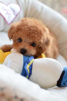 Discover The Eager Poodle Puppies Health Little Puppies, Cute Dogs And Puppies, I Love Dogs, Doggies, Teacup Puppies, Teacup Poodles, Cute Little Animals, Cute Little Dogs, Dog Toys