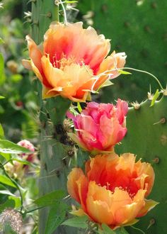 south texas prickly pear