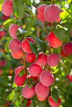 Frutas Tropicais #ameixas #plums