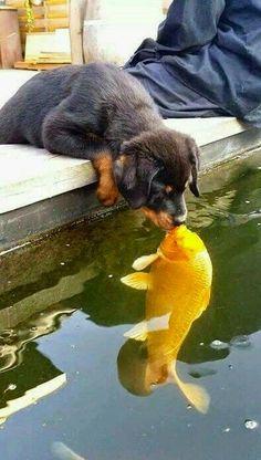 ஜ ۩۞۩ ஜ Azulestrellla ஜ ۩۞۩ ஜ: (◕‿◕) Funny and cute animals . - ஜ ۩۞۩ ஜ Azulestrellla ஜ ۩۞۩ ஜ: (◕‿◕) Funny and pretty animals (◕‿◕) - Cute Little Animals, Cute Funny Animals, Funny Dogs, Cute Dogs And Puppies, Doggies, Puppies Puppies, Rottweiler Puppies, Cute Animal Pictures, Pet Birds