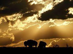 American Bison, Oklahoma. One of the animals we work so hard to defend. SaveBioGems.org/Buffalo