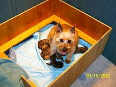 New mom Carolina and her six puppies rescued by Col. Potter Cairn Terrier Rescue.  Read more at the blog.