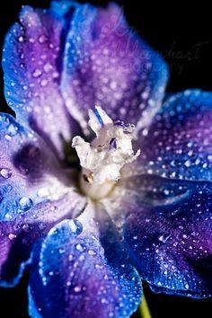 metallic MACRO blue/purple flower photographic print by clp0214, $115.00
