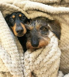 How to Train Your Dachshund Dachshund Puppies For Sale, Funny Dachshund, Dachshund Love, Dogs And Puppies, Daschund, Really Cute Puppies, I Love Dogs, Puppy Care, Pet Puppy