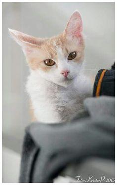 Sphynx Cat White Spotting