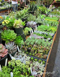 1000 images about succulents on pinterest succulent wreath rabbit foot fern and plants for sale. Black Bedroom Furniture Sets. Home Design Ideas