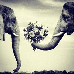 "black and white, elephant presenting flowers to an elephant.  art like this underneath it, a plaque... that says ""Grow Old & Wrinkled with Me."" bedroom ideas inspiration"