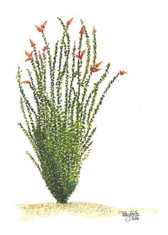 Inspired by the ocotillo in the Sonoran Desert this plain looking plant blooms vividly in orange and red when it rains. Blank inside because no Cactus Drawing, Watercolor Cactus, Watercolor Artwork, Watercolor Sketch, Cactus Art, Watercolor Ideas, Desert Tattoo, Desert Art, Desert Life
