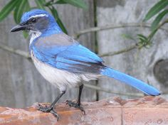 link to a fascinating NPR article - Do Birds Hold Funerals?  (photo of A western scrub-jay sitting on a backyard birdbath.)