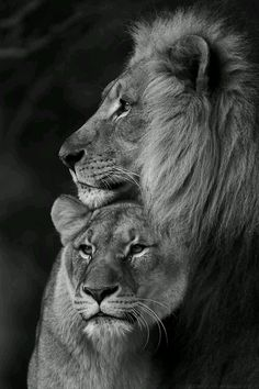 Lion and Lioness . - - Lion and Lioness … – Effektive Bilder, d - Lion Pictures, Animal Pictures, Pictures Of Love, Couple Pictures, Art Pictures, Beautiful Pictures, Beautiful Cats, Animals Beautiful, Lion Couple